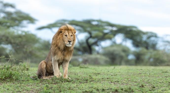 3 V Lion